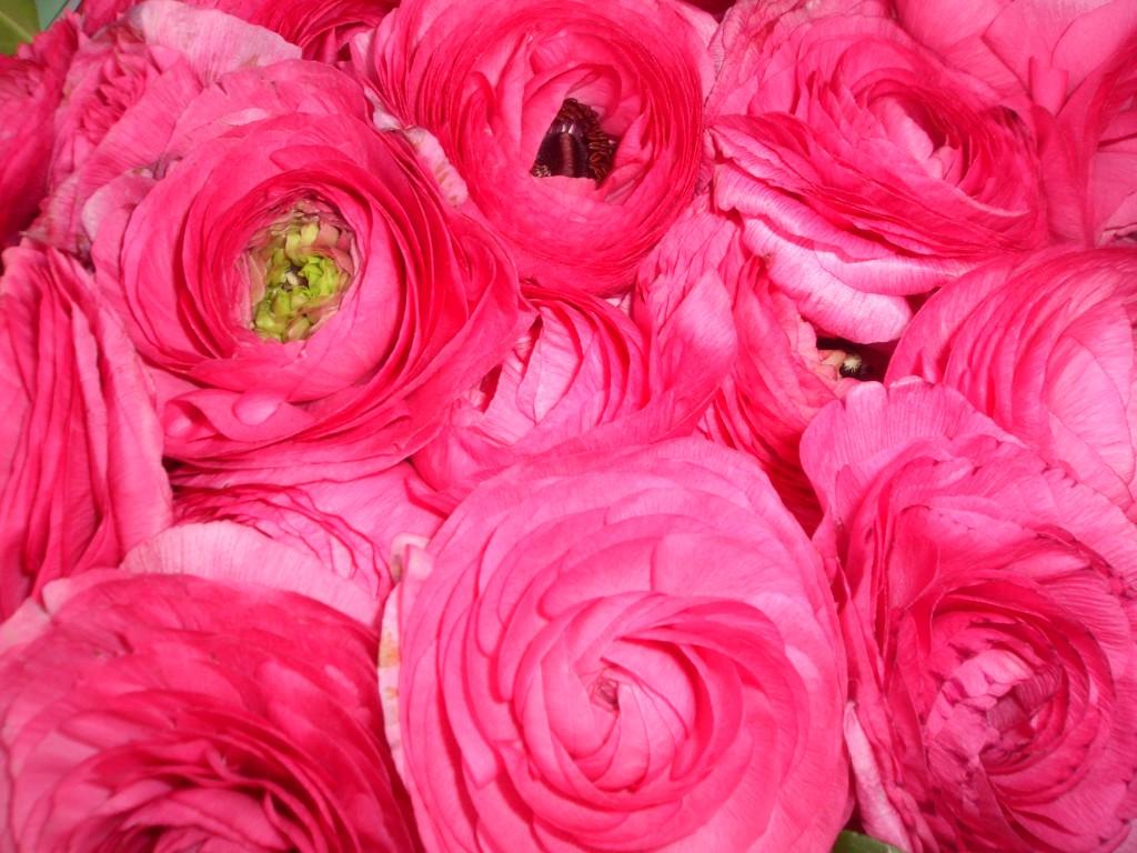 Fleurs fuchsiaq