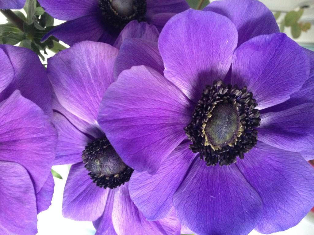 Anémones violettes